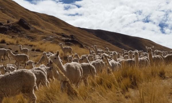 Alpaca: an eco-friendly animal